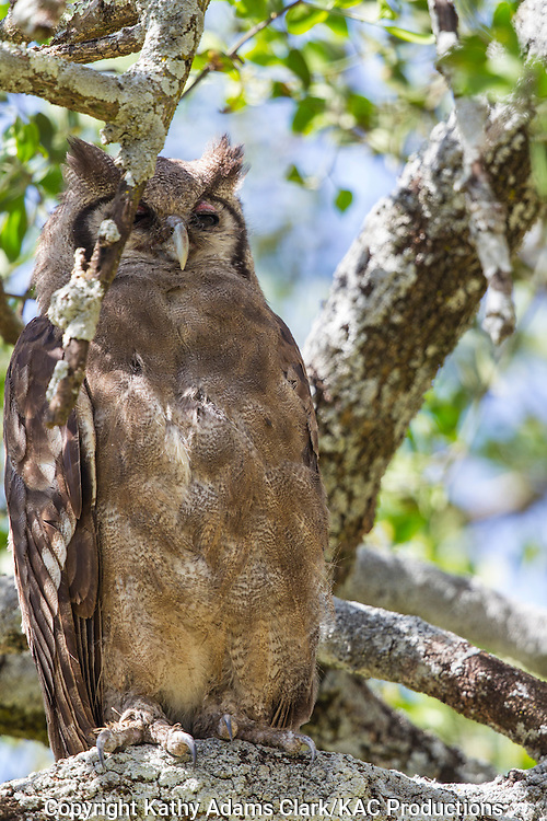 Verreaux's eagle-owl, Bubo Lacteus, perched in a tree, Serengeti, Tanzania, Africa.