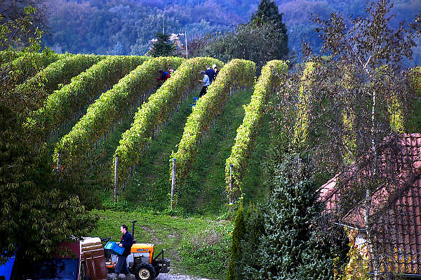 Nederland, Groesbeek, 8-10-2004Druivenoogst biologische wijn hoeve de ColonjesVrijwilligers helpen bij de pluk.De oogst is bijzonder goed. Zonder bestrijdingsmiddel. Wijnproductie, druif, wijngaard, klimaat, seizoensarbeid, druiventeelt, landbouw, fruitteelt, regionaal productFoto: Flip Franssen/Hollandse Hoogte