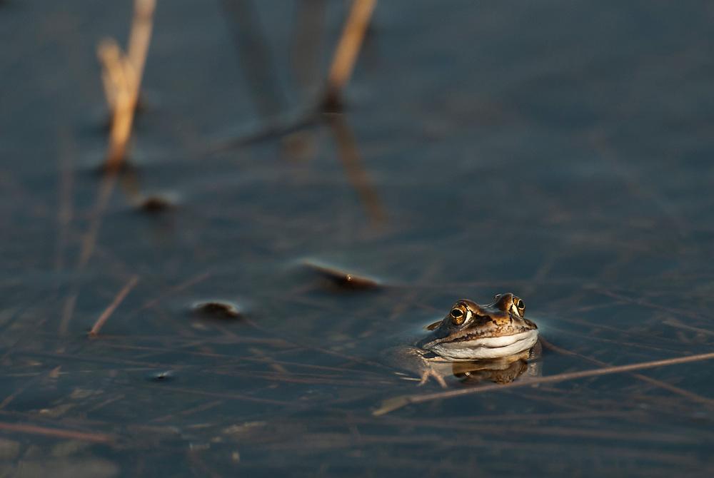 Common frog (Rana temporaria), vanlig groda<br /> Location: M&aring;ryd, Sk&aring;ne, Sweden