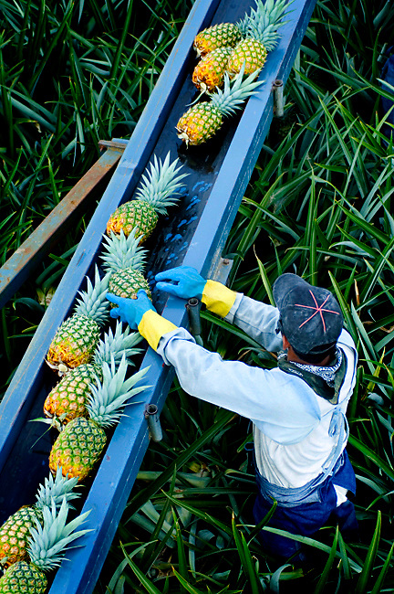 Pineapple Picker Loads Pineapples Onto A Conveyor Belt In Costa Rica.