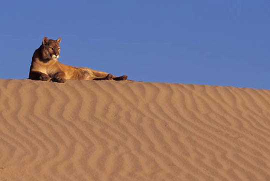 Mountain Lion or Cougar, (Felis concolor) Adult in sand dunes in the Little Sahara area. Utah.  Captive Animal.
