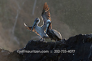 A brown pelican lands on a rock along the coast of Bona Island in Panama Bay.