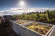 Brooks Winery Riesling harvest, Eola-Amity Hills AVA, Willamette Valley, Oregon