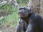 Chimpanzee (Pan troglodytes) in captivity