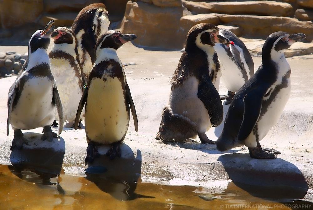 Penguins / Woodland Park Zoo, Seattle