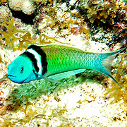 Bluehead inhabit reefs in Tropical West Atlantic; picture taken Key Largo, FL.