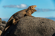 Land Iguana (conolphus subcristatus)<br /> North Seymour<br /> Galapagos<br /> Ecuador<br /> South America<br /> Endemic