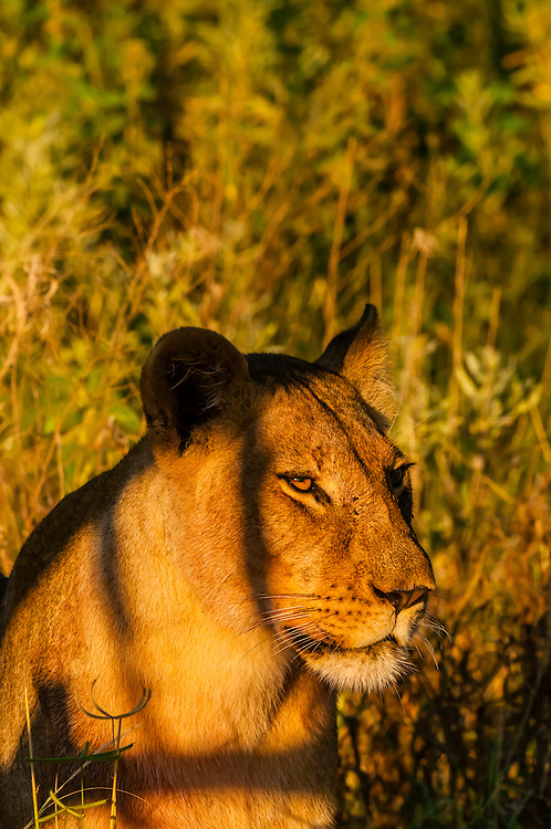 Female lion, Linyanti Marshes, Botswana.