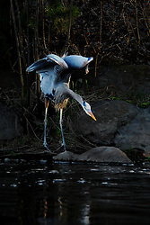 A great blue heron (Ardea herodias), in the heron family Ardeidae; fishes for Alewife herring in the Nemasket River.