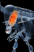 "Phronima, the pram bug amphipod, is a small, translucent deep-sea hyperiid amphipod of the family Phronimidae. It resembles a shrimp with a head, eyes, jaws and clawed arms. Phronima are only seen in the wild at great depths. Phronima are carnivorous; they eat small plankton. The eyes of the adult Phronima are a further feature of wonder in an animal already beset with extraordinary habits and adaptations. It has compound eyes, like most crustacea and insects, but unlike most it has four, not two. Each pair of eyes is situated on the side of the head. The outer and inner eye of each pair are actually in contact with each other. The outer eye is surrounded by a lozenge-shaped ball of eye-facet lenses commanding an enormous field of view - perhaps 270 degrees. One pair of eyes keeps a constant watch on the world ahead, whereas the other pair views the surroundings through the transparent walls of its temporary home.  Phronima sp | Der Körper dieses kleinen Tiefsee-Krebses namens Phronima ist zum größten Teil durchsichtig, so kann er unauffällig im Plankton der Meere leben. Phronima ist ein Räuber: Er ernährt sich von kleinen Plankton-Organismen und überfällt darüber hinaus Salpen, die er aushöhlt um sie als ""Kinderwagen"" für seine Larven zu verwenden. (Atlantik)"