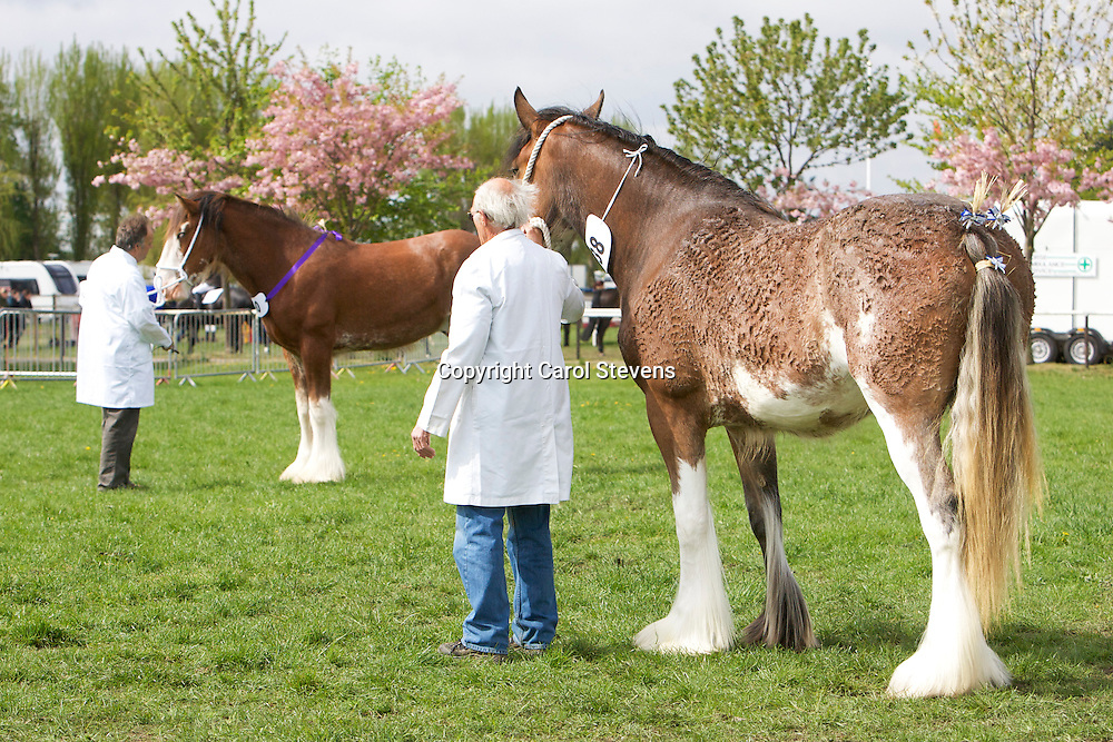 Right -Mr E S Cumbor's Two year old Clydesdale   West Glen Willow   f 23/04/2011   S Dillars Ideal  D Blueton Birdie<br /> Winner  Yearling or 2 year old colt, gelding or filly<br /> Champion Clydesdale
