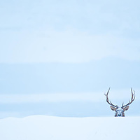 bull elk cold winter snow on face peaking over snow bank lone animal, lone bull all alone
