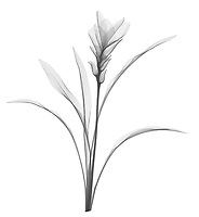 X-ray image of a hidden ginger plant (Curcuma, black on white) by Jim Wehtje, specialist in x-ray art and design images.