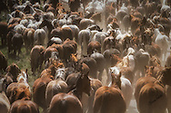 These gorgeous images come from the Annual Sombrero Horse Drive outside of Craig, Colorado. This is a once in a lifetime opportunity and experience for the horses, riders, cowboys and the photographers. I hope you enjoy viewing them. <br /> <br /> TO ORDER; <br /> https://claireporterphotography.pixieset.com/sombreroranch15/<br /> <br /> Any enlargement may be ordered by emailing me, too. I look forward to consulting with you and creating your very own fine art image. <br /> <br /> Thank you!
