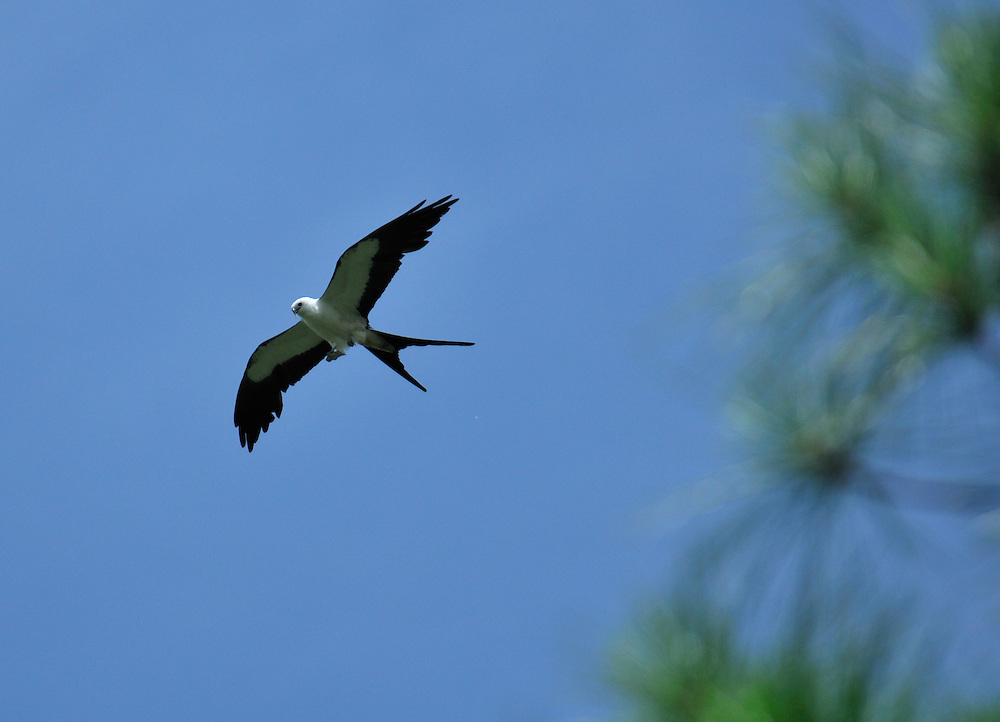 Kite at Corkscrew Swamp Sanctuary, near Fort Myers, Florida, USA