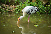 A painted stork (Mycteria leucocephala) foraging in shallow water. Johore, Malaysia.