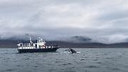 whalewatching in iceland. Humpack whale