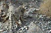 Ladakh Snow Leopard Trip 2006