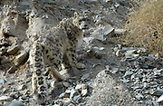 Adult male snow leopard (unica unica) ascends rocky slope in Ladakh.