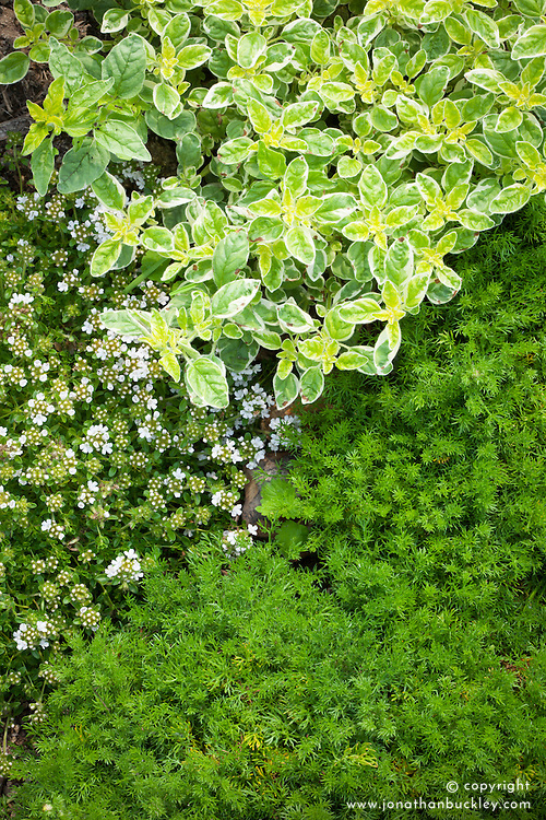 Herb bed with Chamaemelum nobile (Chamomile), Oreganum vulgare 'Country Cream' (oregano) and Thymus 'Alba' (Thyme)