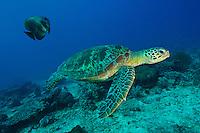 Green turtle and batfish, Sangalaki, Kalimantan, Indonesia.
