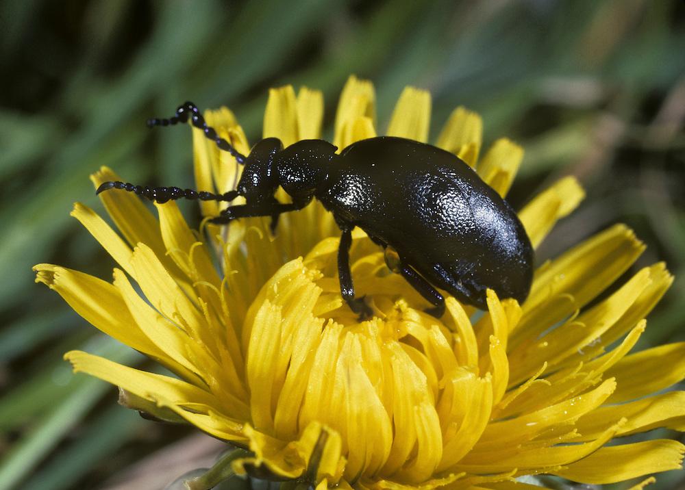 Oil Beetle - Meloe proscarabeus