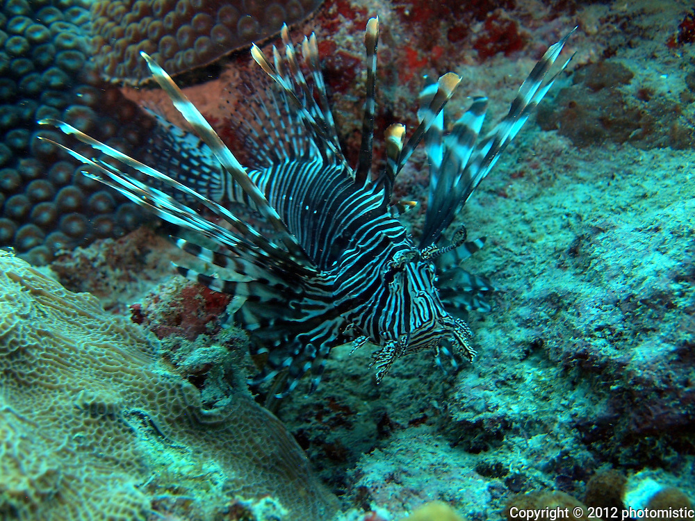 lionfish - invasive species stirring up trouble, but still, a very cool looking fish