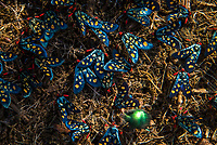 Handmaiden Moths, Marataba Private Game Reserve, Limpopo, South Africa