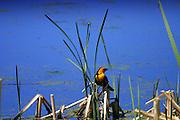 A orange headed blackbird framed against the cobalt waters