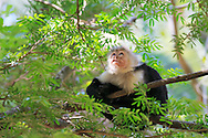 This White-faced Capuchin Monkey was one of a small troop that was foraging in the tropical dry forest of Palo Verde National Park in Guanacaste. At one point it sat down and stared at something up in the canopy for about 30 seconds. I was so engrossed in photographing its expression that I never saw what had caught it's attention.<br /> <br /> For sizes and pricing click on ADD TO CART (above).