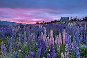 The pink and purple hues of the dawn sky mirror the field of lupins at Lake Tekapo, New Zealand.