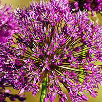 Macro photograph of a purple allium.