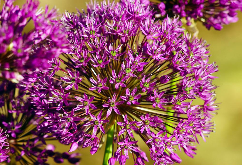 Macro photograph of a purple allium.
