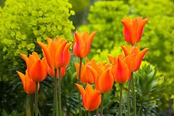 Tulipa 'Ballerina' in front of euphorbia