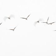 Cranes, Montier en Der, France