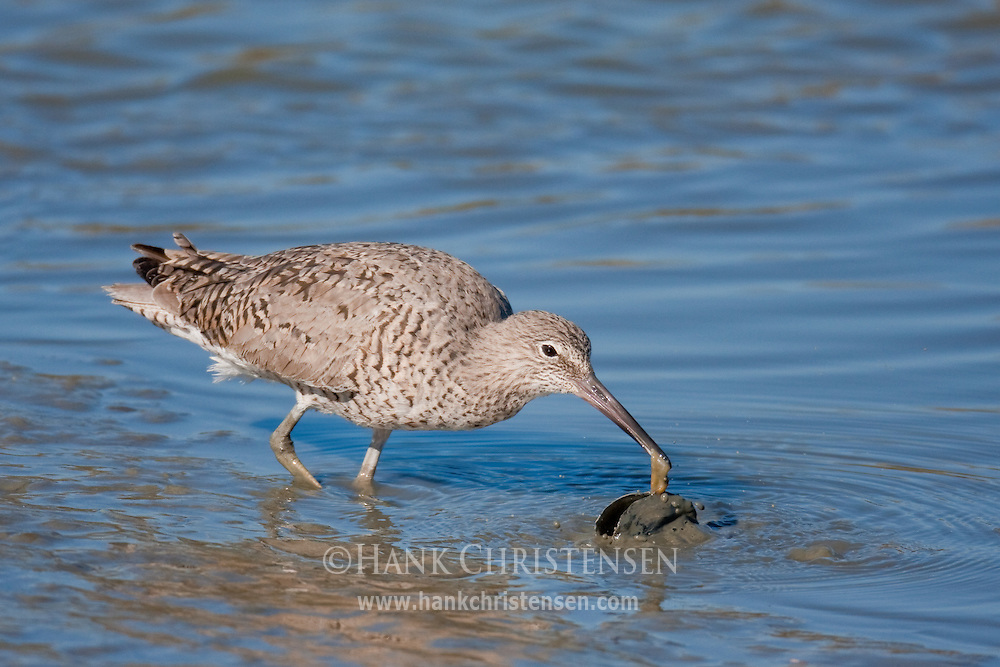 A willet pulls a mollusk out of its shell