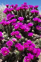 Strawberry Cactus, (Echinocereus enneacantus var enneacanthus), Ozona, Texas