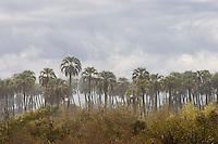 PALMERAS YATAY (Syagrus yatay), EN LA TORMENTA, PARQUE NACIONAL EL PALMAR, PROV. DE ENTRE RIOS, ARGENTINA