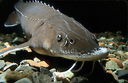 Lake Sturgeon, Underwater