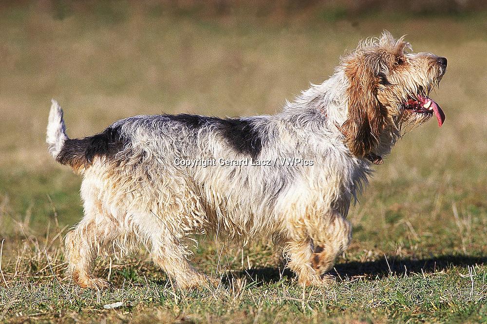 BASSET GRIFFON VENDEEN DOG, ADULT STANDING ON GRASS