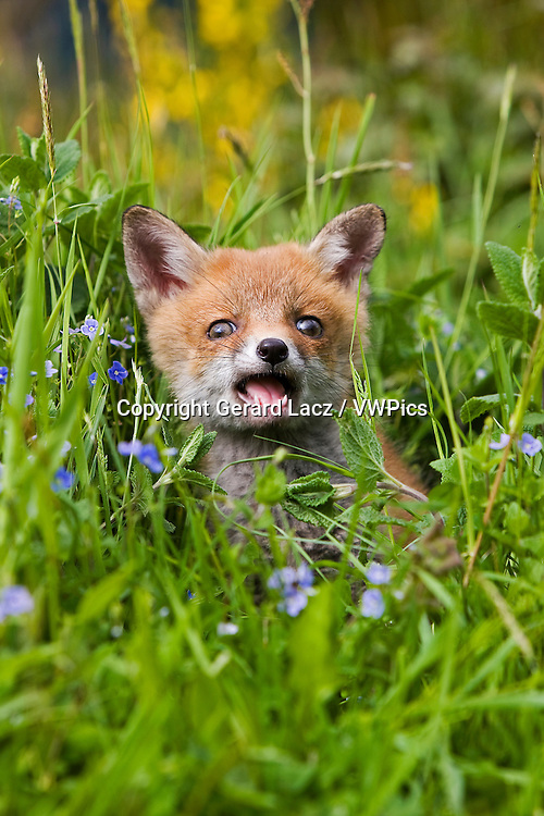 Red Fox, vulpes vulpes, Cub sitting with Flowers, Normandy