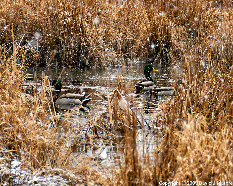 Mallard ducks swimming in a pond on a snowy day. Sourland Mountain Preserve in New Jersey. Image taken with a Nikon D300 camera and 18-200 mm VR lens (ISO 400, 200 mm, f/5.6, 1/320 sec).