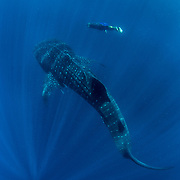 Whale shark (Rhincodon typus) with freediving cook from the tour banca boat, Honda Bay, Palawan, the Philppines