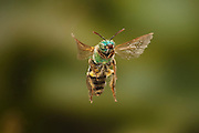 Covered in pollen, a native green bee (Andrena ilicis) in flight, Texas. Note the tattered wings inidcate this bee is approaching old age, and the end of its useful life.