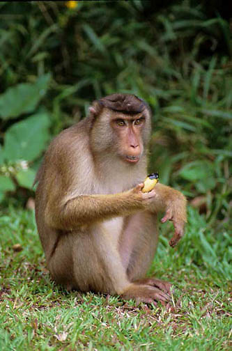 Pig-tailed Macaque, (Macaca nemestrina) Sitting on rain forest floor  eating friut. Malaysia.