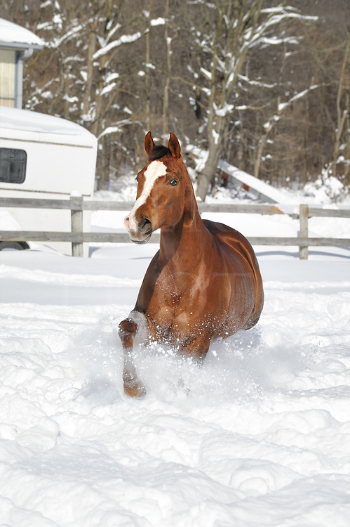 Horse running in deep powder snow and sunlight in a fenced field, a chestnut quarter horse mare in winter, head on view.