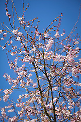 Prunus x subhirtella 'Autumnalis'. Winter flowering cherry