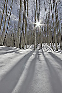 Sunlight flirts with aspens that sleep among a blanket of winter snow.<br />