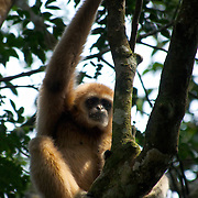 A endangered wild Lar Gibbon (Hylobates lar), also known as the White-handed Gibbon, is a primate in the Hylobatidae or gibbon family. This wild animal is pictured in the Kaeng Krachan National Park in Thailand.