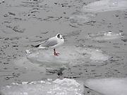 Jag kan simma, flyga och gå. Och så kan jag åka isflak.